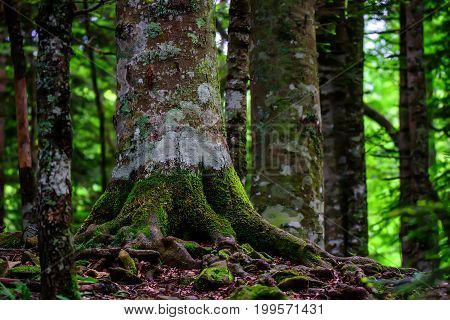 Road going through beautiful forest with mossy trunks and roots giant spuces and pines and lush folliage in front