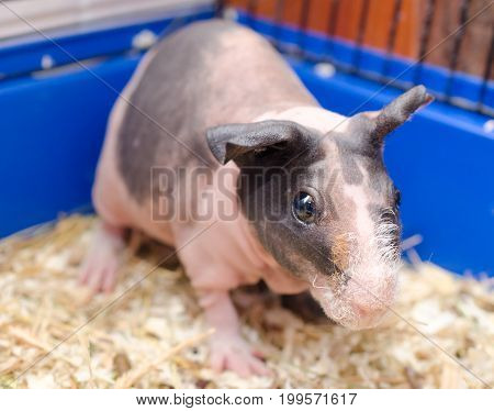 Scared skinny guinea pig baby in the corner of a cage
