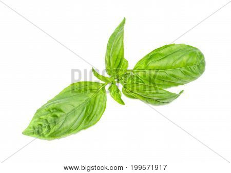 Twig of the freshly picked out green basil closeup on a light background