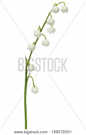 Lily of the valley - flowers isolated on white background