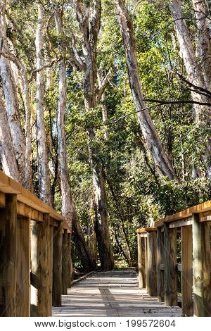 Wooden nature boardwalk with tall eucalyptus gumtrees