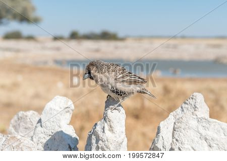 A sociable weaver Philetairus socius on a white calcrete rock in Northern Namibia