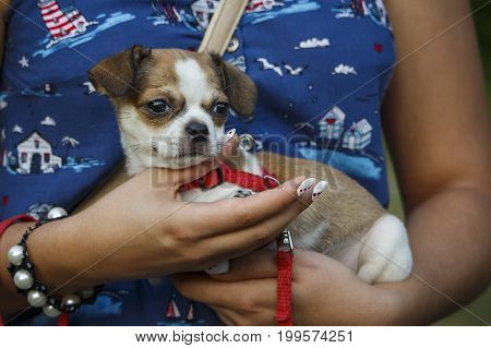 A girl is holding a small chihuahua dog