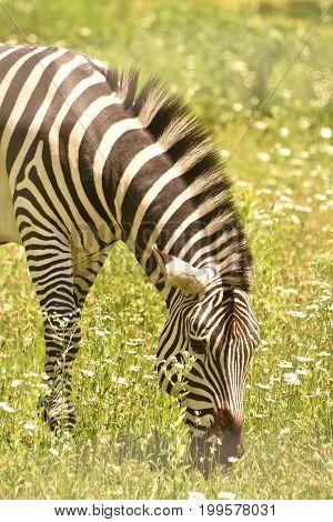 Lovable Zebra on a Safari In Africa