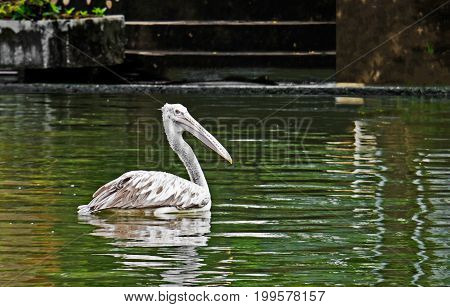 Closeup Spot-Billed Pelican or Grey Pelican on The Pond