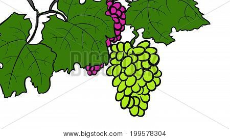 Green and red Vine Grapes hand drawn colored Illustration Vector Image