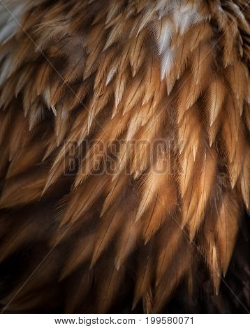 close up texture of bald eagle feathers