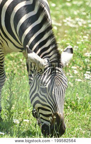 Lovable Little Zebra Eating Grass in Nature