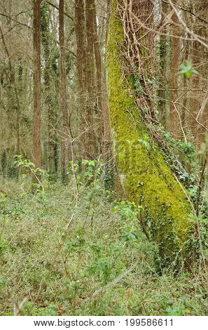Tree trunk covered with mosses in a wood.