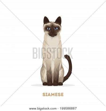 Isolated siamese cat on white background. Domestic animal.