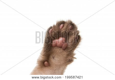 Paw kitten gray isolated on white background