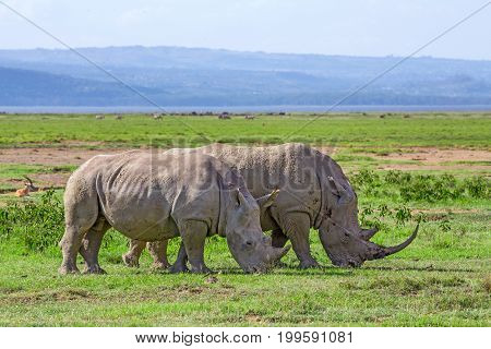 A pair of white rhinoceros or Ceratotherium simum grazing in national park Lake Nakuru, Kenya