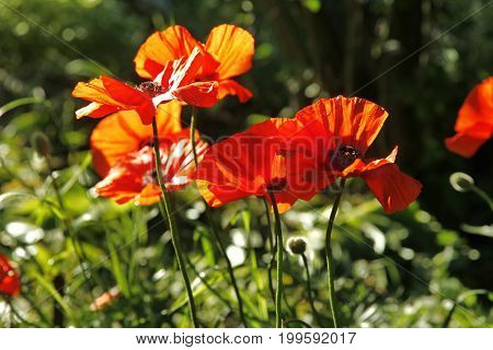 Poppies. Red Poppies Flowers. Poppies In Garden. Poppies Spring And Summer Flower.