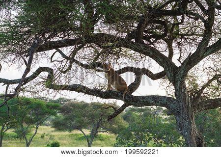 Lioness sit on the tree. Tarangire, Tanzania