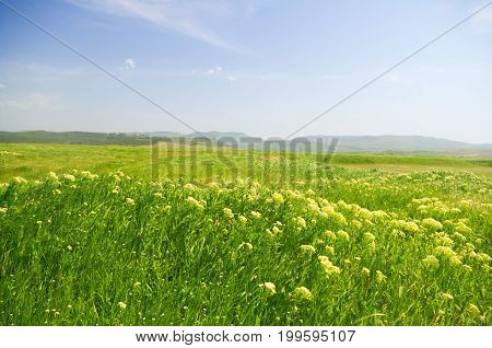 mountains spring meadow. White flowers and green grass