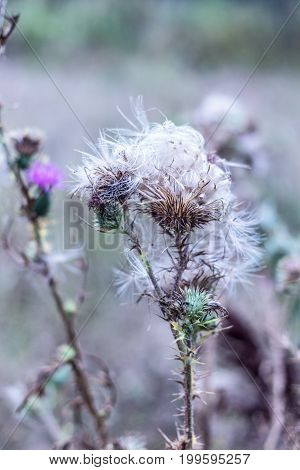 White down of thistle at autumn day