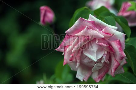 Among the green foliage is a large rose flower from white with red veins petals.