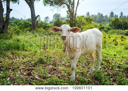 Calve Grazing On A Green Meadow In Sunny Day. Farm Animals.