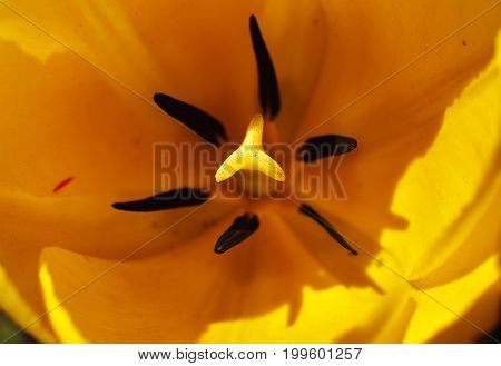 Close Up On The Pistil And Stamens Of The Yellow Tulip From Above