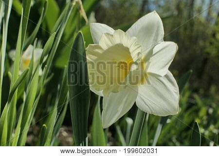 White Narcissus Jonquil Flower Close Up Outdoors With Green Grass