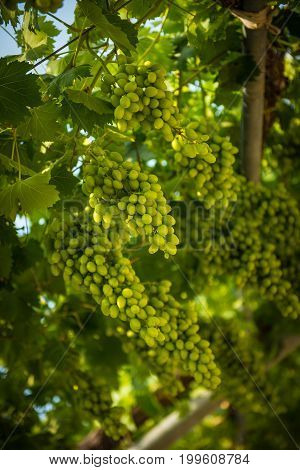 Green Grapes Hanging