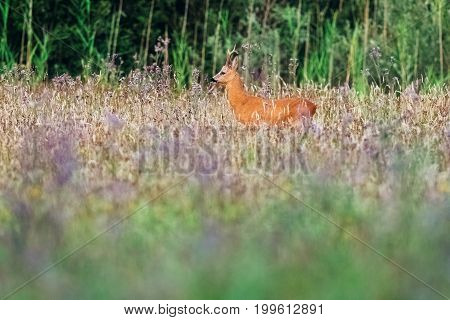 Roe Deer Buck In Field With Wild Flowers.