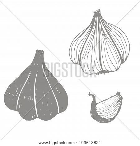 Seasonal autumn vegetables. Hand drawn vector set. Garlic
