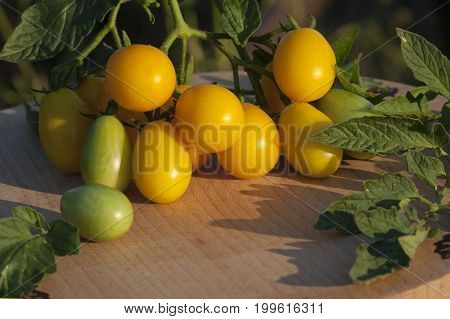Beautiful branch of a yellow tomato with green leaves on a kitchen wooden board. Sunset lighting