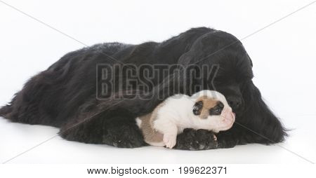 orphaned bulldog puppy being raised by cocker spaniel mother