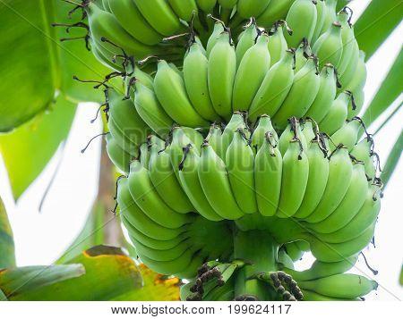 A Large Banana Bunch On A Banana Tree.