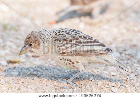 A sociable weaver Philetairus socius on the ground in Northern Namibia
