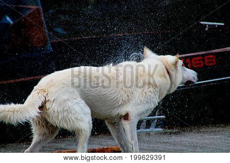 An active and wet white dog rinsing off the water