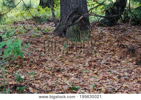 Fallen Needles In Autumn