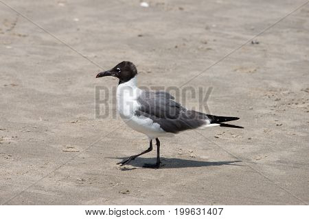 View of Seagull walking along on the beach