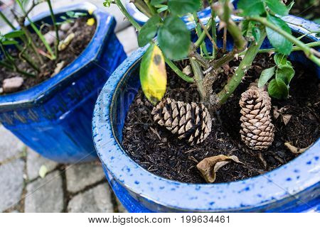 two pinecone laying in blue pot with plant in garden