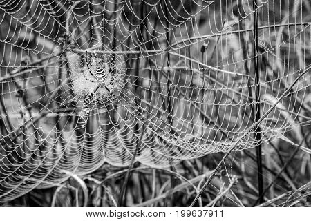 Wet spider net, cobweb on thistles, selective focus, in black and white