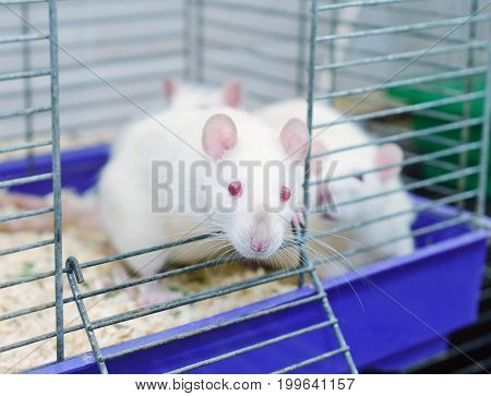 Curious white laboratory rat looking out of a cage in a laboratory (in blue tones)