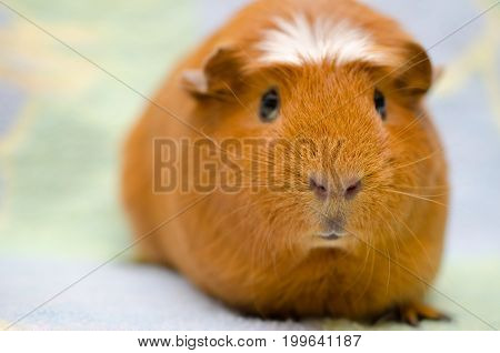 Cute funny guinea pig against a bright background (selective focus on the guinea pig nose) with copy space on the left