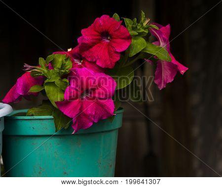 Petunia In A Pot
