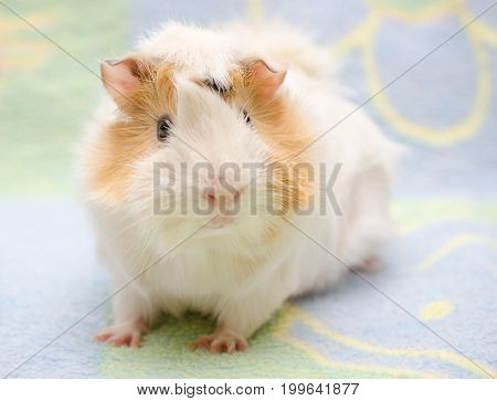 Cute Abyssinian guinea pig against a bright background (shallow DOF selective focus on the guinea pig eyes)