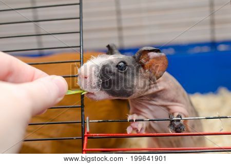 Funny skinny guinea pig baby looking out of a cage and taking green grass from a human hand (selective focus on the guinea pig eye)