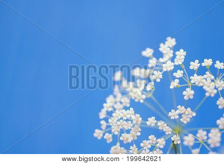 Beautiful blurred white flowers against the light blue background (very shallow DOF selective focus) copyspace on the left for your text
