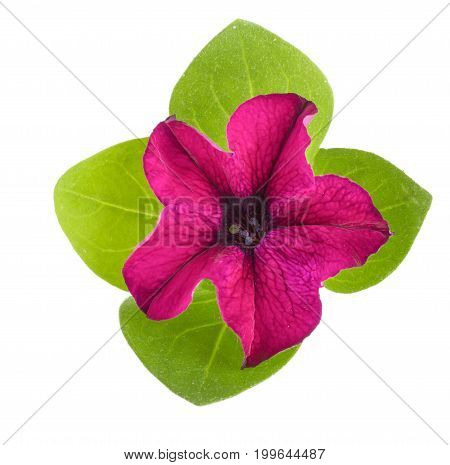 pink flower of petunia with green leaves isolated on white background.