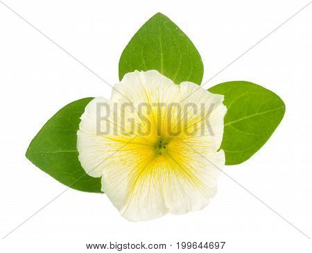 yellow flower of petunia with green leaves isolated on white background.