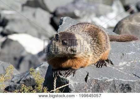 groundhog animal sun bathing on a rock at summer