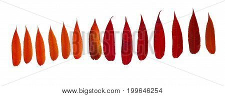 Autum season red leaves pattern isolated on white background with copy space.