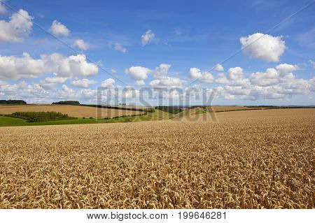 Golden Wheat And Valley
