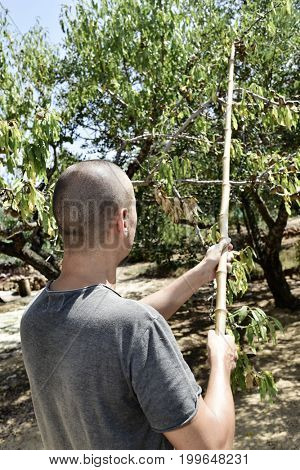 a young caucasian man seen from behind hitting with a stick the branches of a carob tree during the harvesting of the fruits, in Spain
