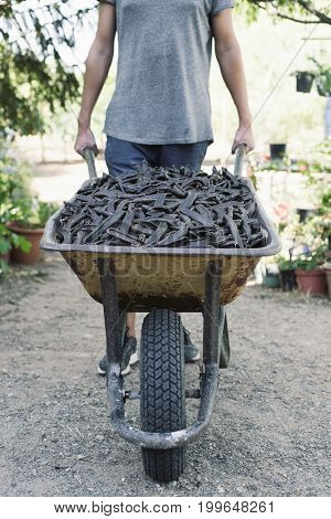 a young caucasian man pushing a wheelbarrow full of carobs during the harvesting this fruit in Spain