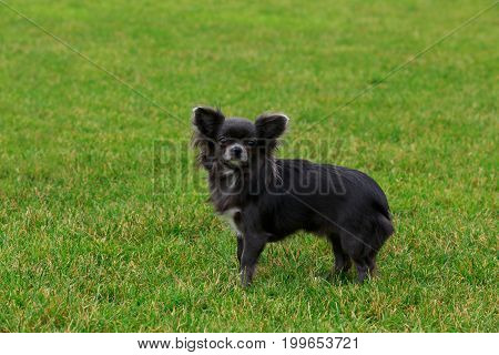 Dog breed chihuahua on a background of green grass